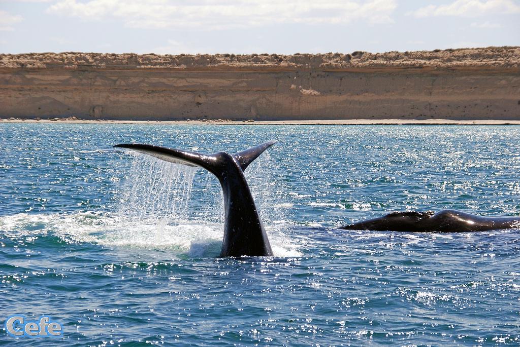 Ballena franca austral, una especie en peligro