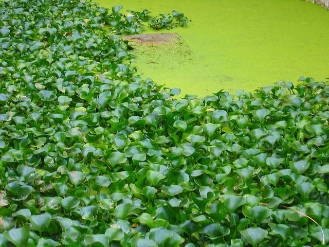 El Jacinto de agua, una especie invasora en aguas españolas