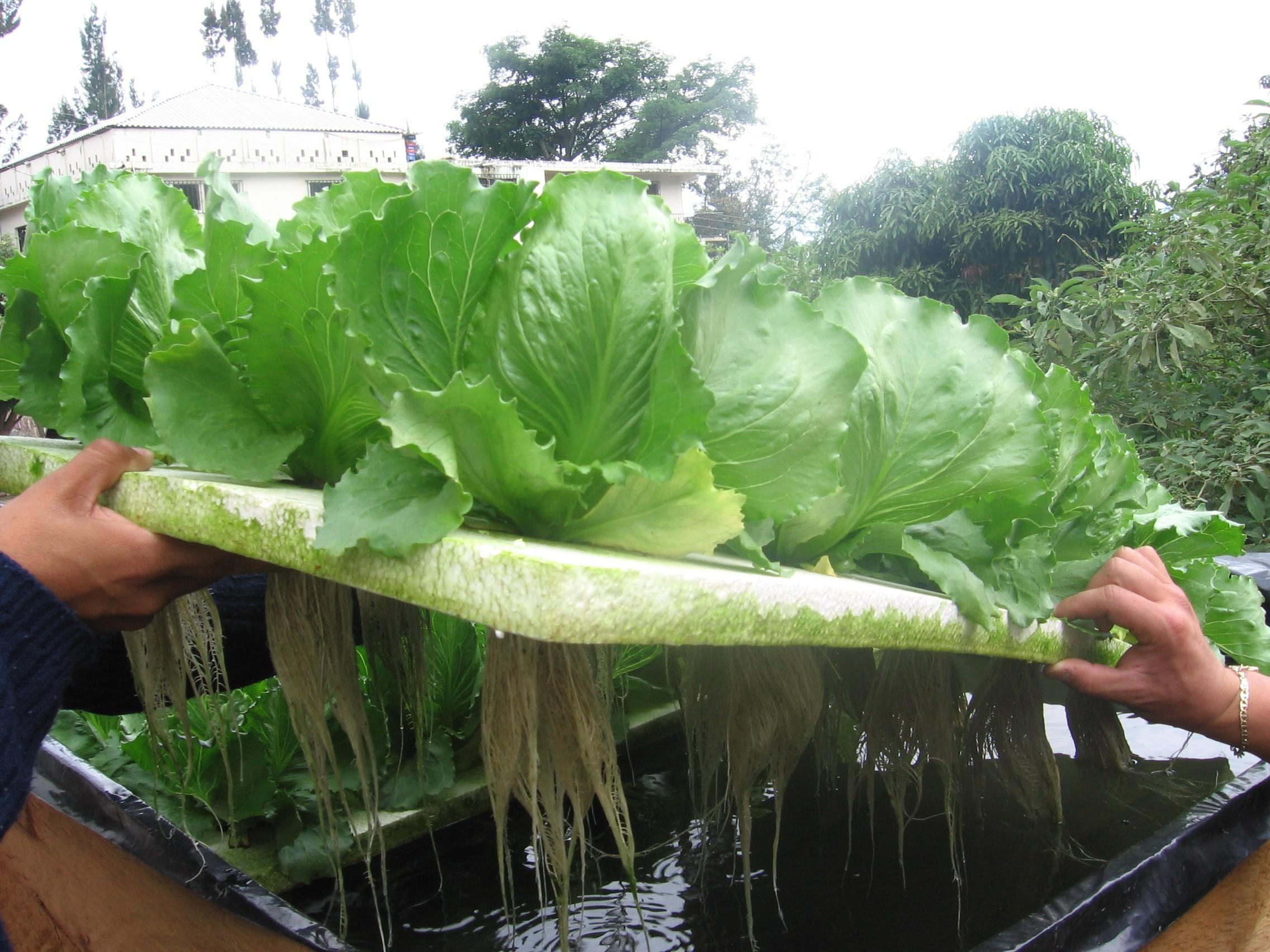 hidroponia cultivo: