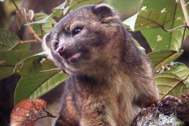 Identifican una nueva especie carnívora en América, el olinguito